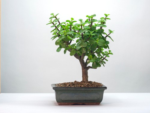 9greenbox Juniper Tree Bonsai Housewarming Gifts For Men