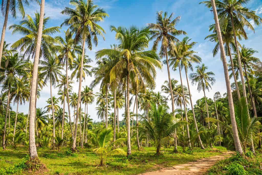 Coconut Palms In Group