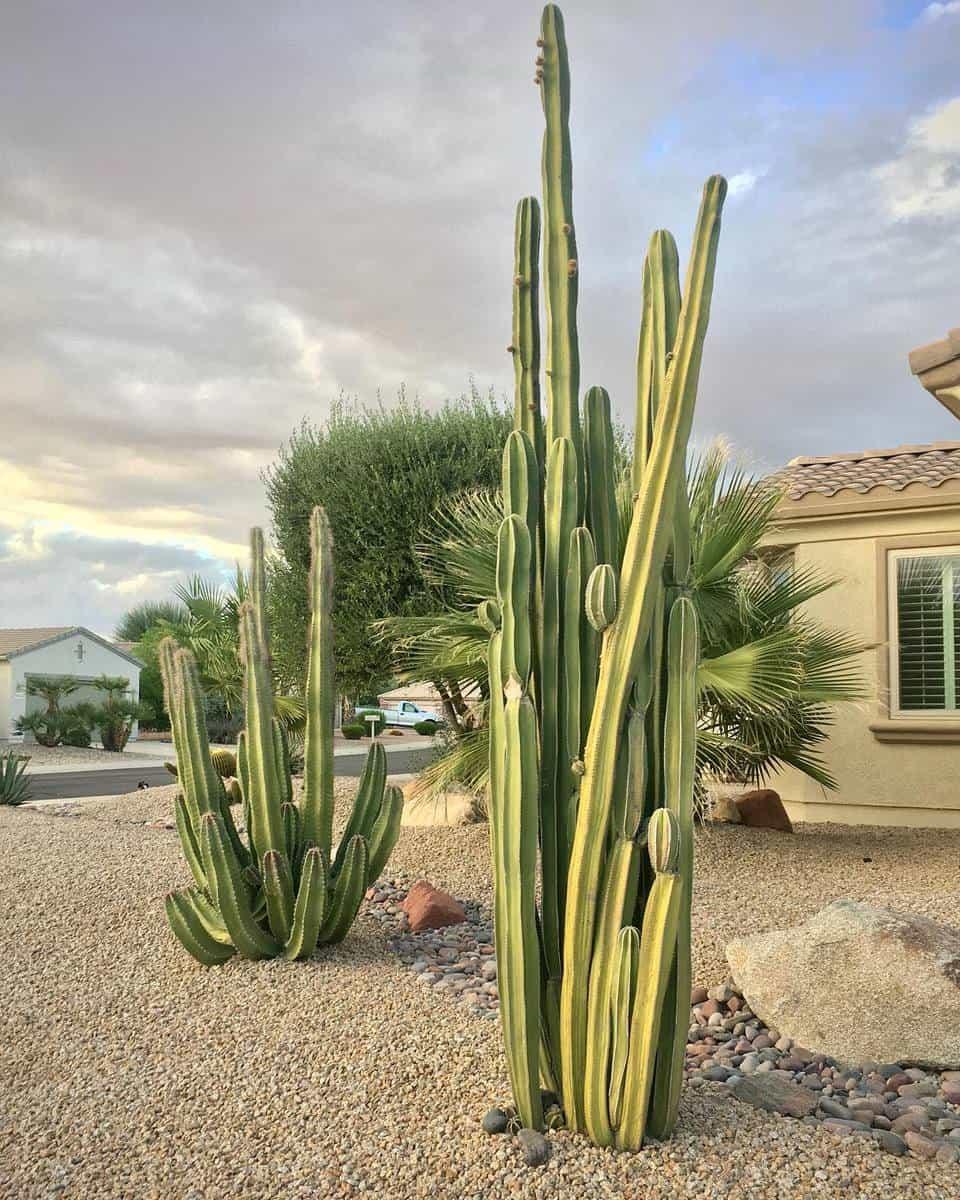 Desertscape Grass Free Yard Ideas -cereusbusiness