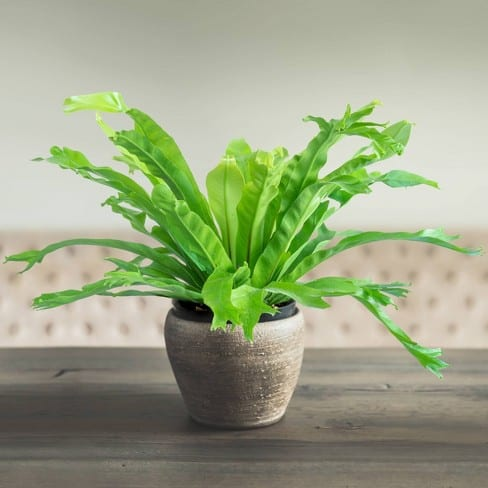 Green Flame Fern Plant