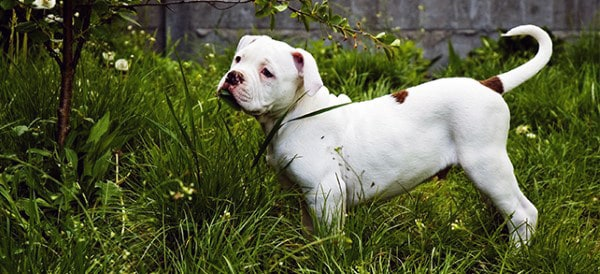 American Bulldog Breeds For Men