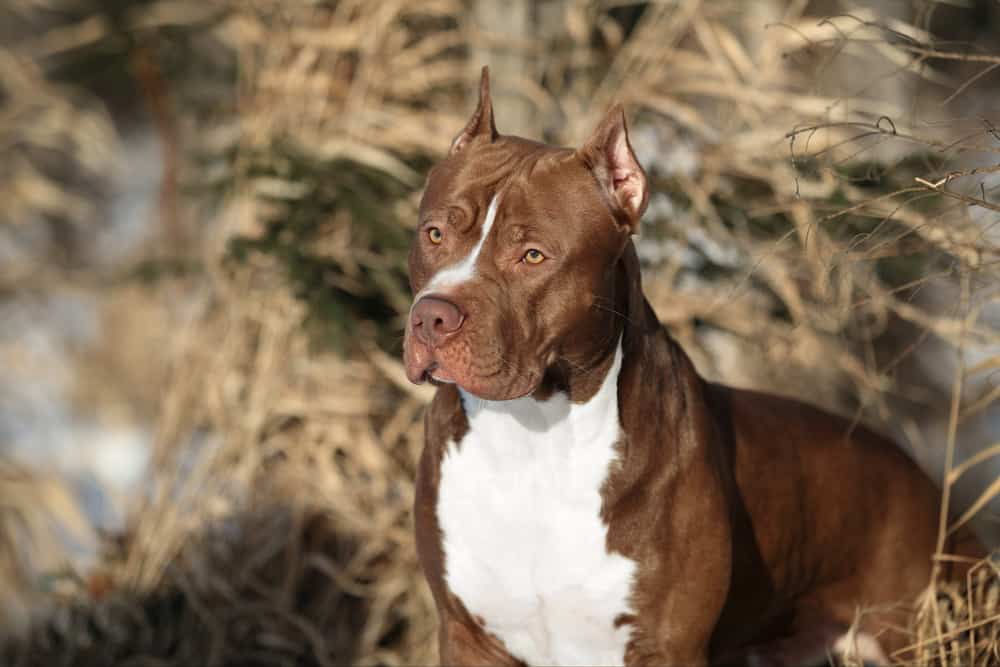 beautiful american pit bull terrier dog posing outdoor