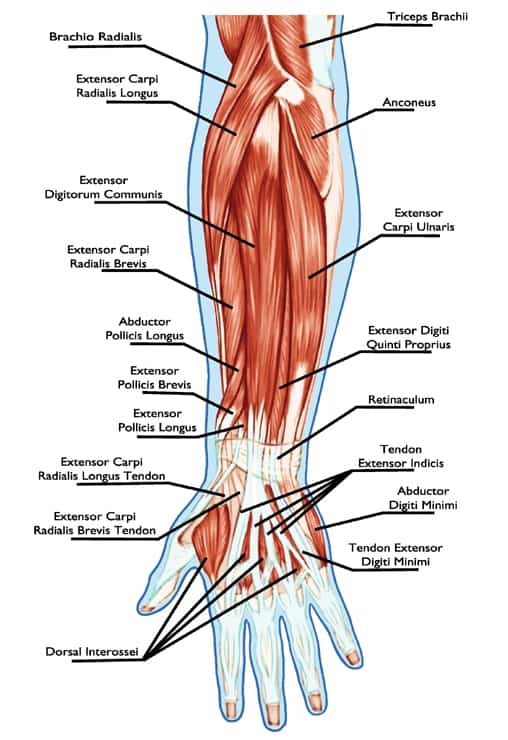 anatomy of muscular system