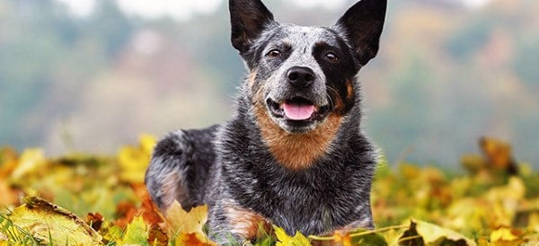 Australian Cattle Dog Breeds For Men