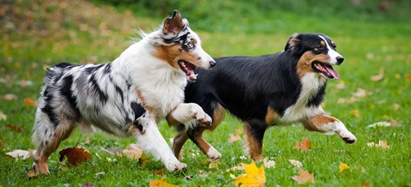 Australian Shepherd Dog Breeds For Men