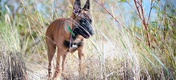 Belgian Malinois Dog Breeds For Men