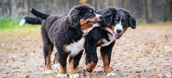 Bernese Mountain Dog Breeds For Men