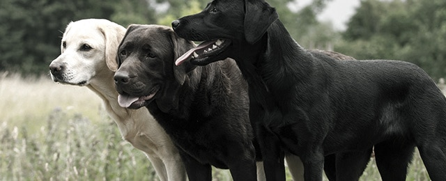 Top 40 Best Dog Breeds for Men – Coolest Dog Breeds