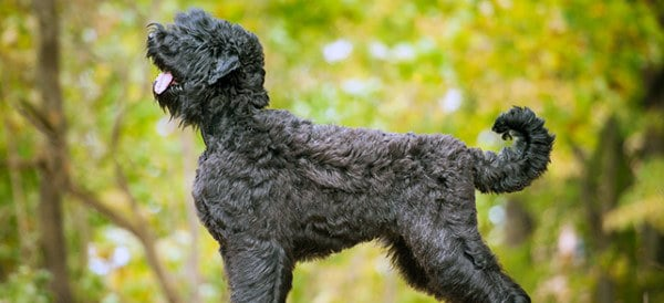 Black Russian Terrier Dog Breeds For Men