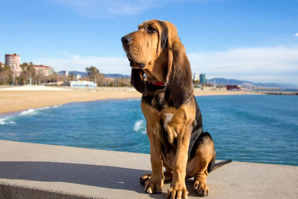 beautiful bloodhound puppy sitting near beach