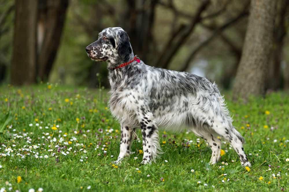 cute blue belton english setter standing outdoor in grass