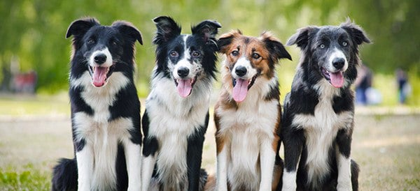 Border Collie Dog Breeds For Men