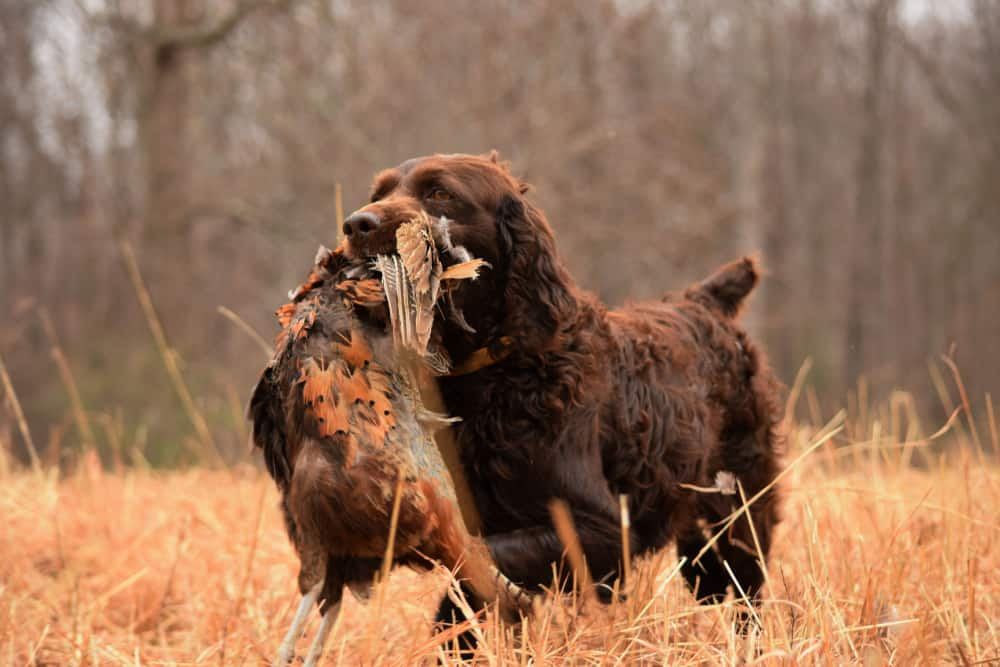 brown boykin spaniel pheasant hunting tennessee outdoor
