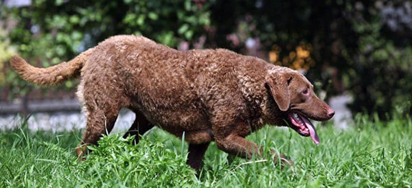 Chesapeake Bay Retriever Dog Breeds For Men