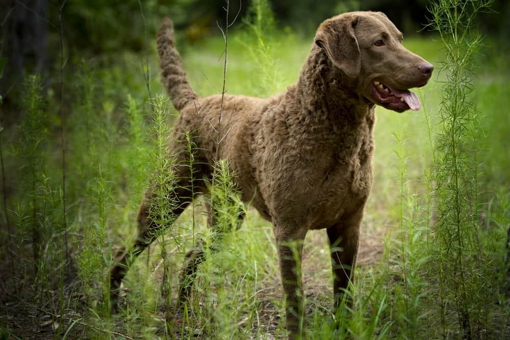 chesapeake bay retriever outdoors in tall green grass