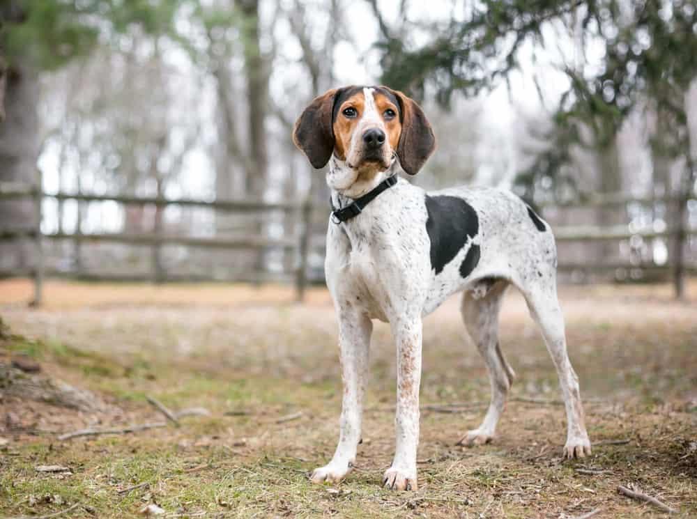 treeing walker coonhound dog outdoor