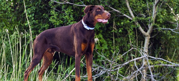 Doberman Pinscher Dog Breeds For Men