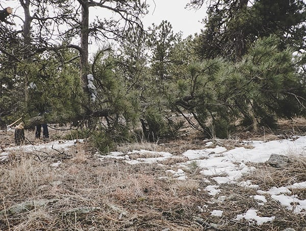 Felling Pine Tree In Woods Hults Bruk American Felling Axe Review