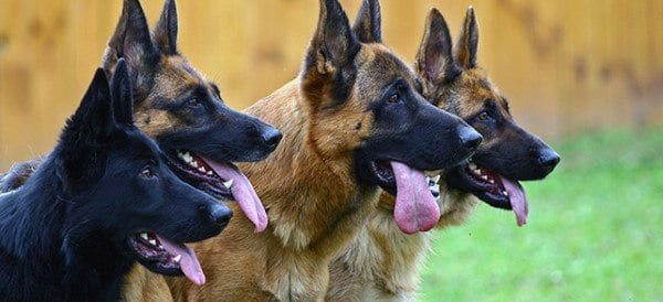 German Shepherd Dog Breeds For Men