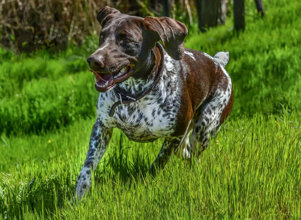 german shorthaired pointer running in a park