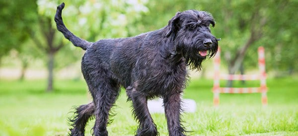 Giant Schnauzer Dog Breeds For Men