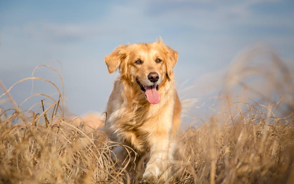 golden retriever dog running outdoor in dry grass