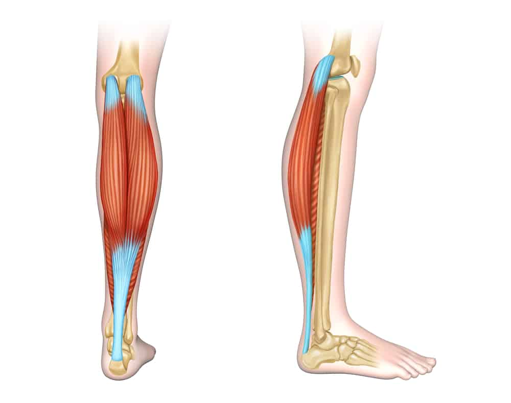 digital illustration of human calf muscles back and side view