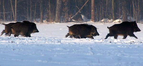 Hunt A Wild Boar