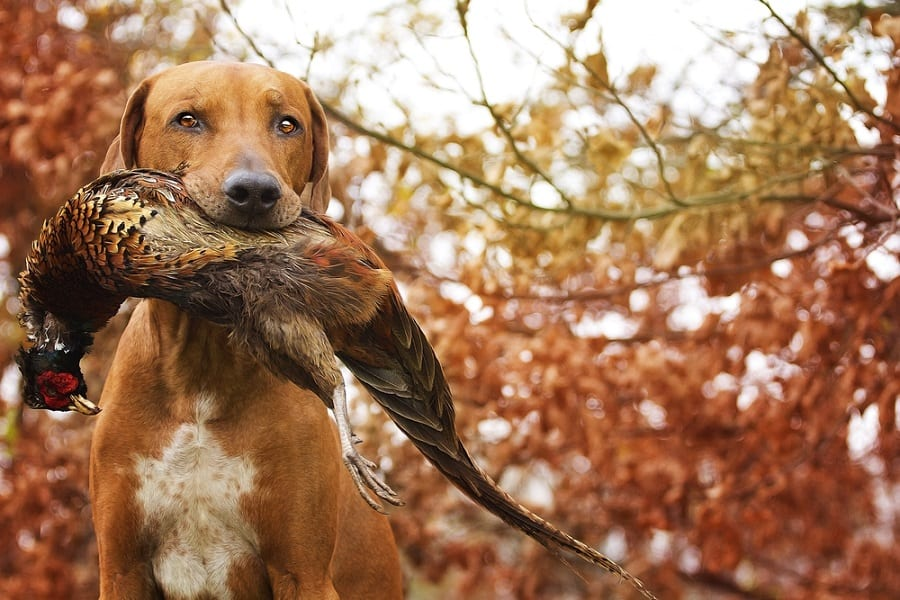 The 15 Best Hunting Dog Breeds