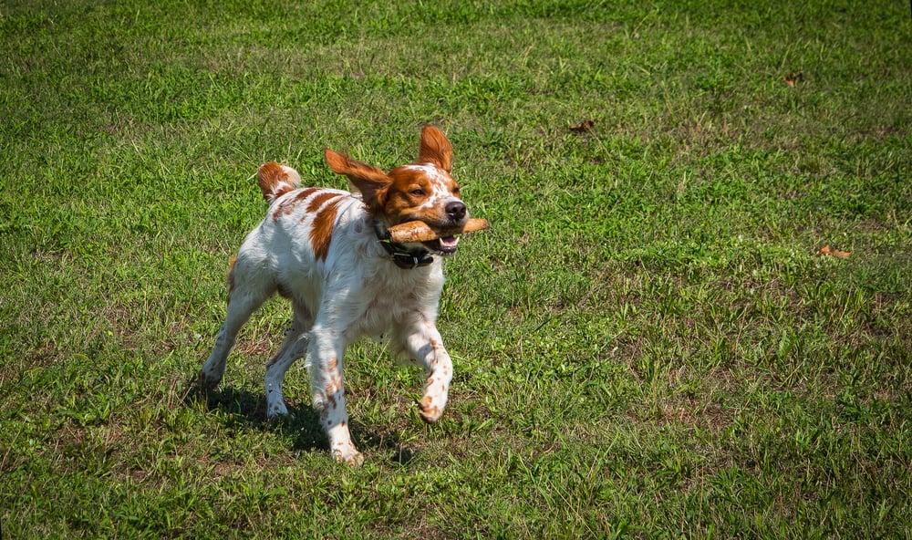 hunting dog brittany spaniel runs through a meadow