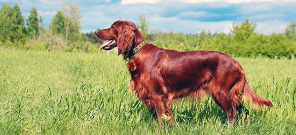 Irish Setter Dog Breeds For Men
