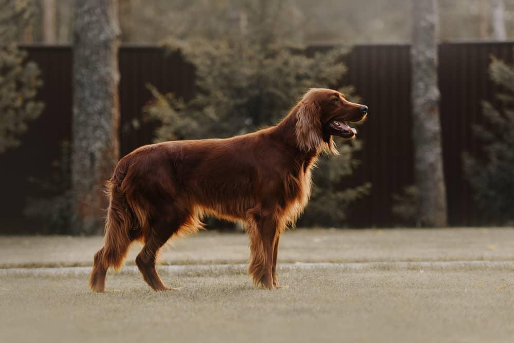 brown irish setter dog standing in the backyard