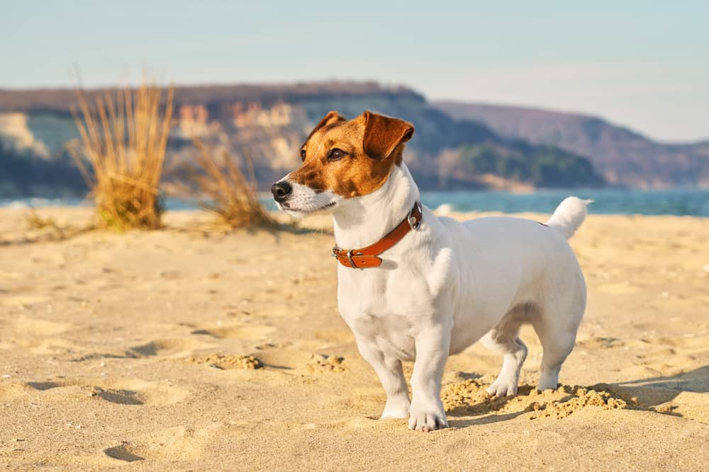 white jack russell terrier standing on sand near beach