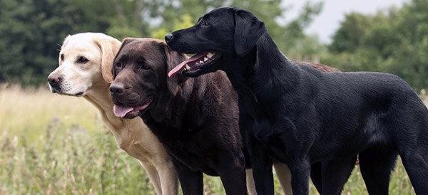 Labrador Retriever Dog Breeds For Men