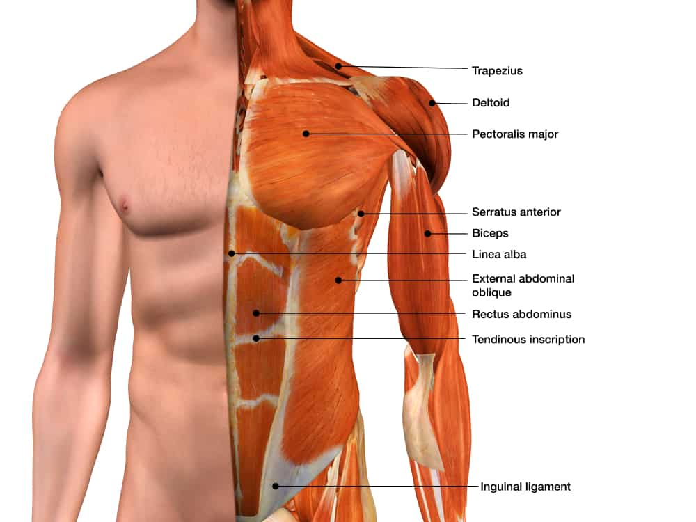 male torso muscle anatomy labeled with 3d rendering