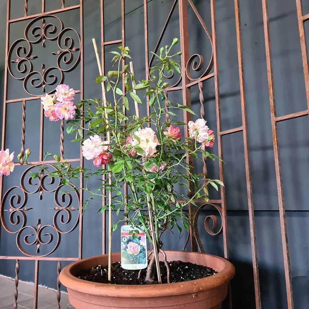 metal garden trellis ideas theolive_blossom