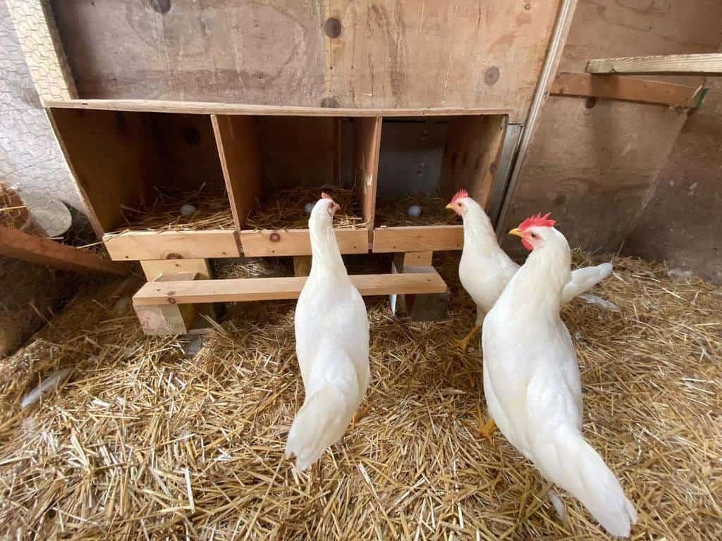 nesting box chicken coop ideas linguinibeans