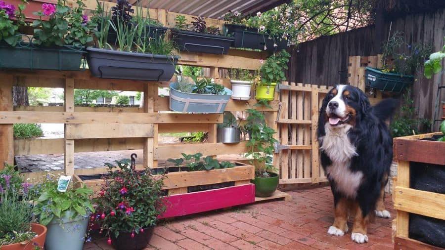 pallet fence garden ideas crix_the_wonder_bear