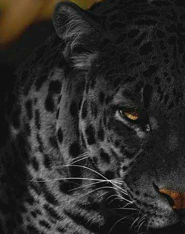 Top 63 Panther Tattoo Ideas 2020 Inspiration Guide