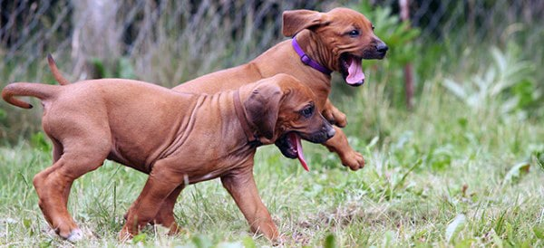 Rhodesian Ridgeback Dog Breeds For Men