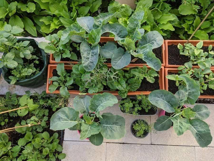 rooftop or balcony vegetable garden ideas mays.balcony.garden