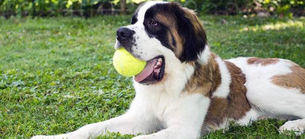 Saint Bernard Dog Breeds For Men