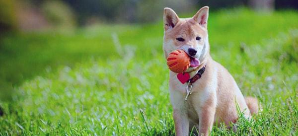 Shiba Inu Dog Breeds For Men