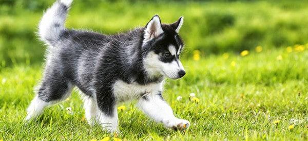 Siberian Husky Dog Breeds For Men