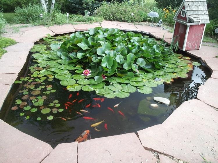 Smal Lotus Backyard Koi Pond