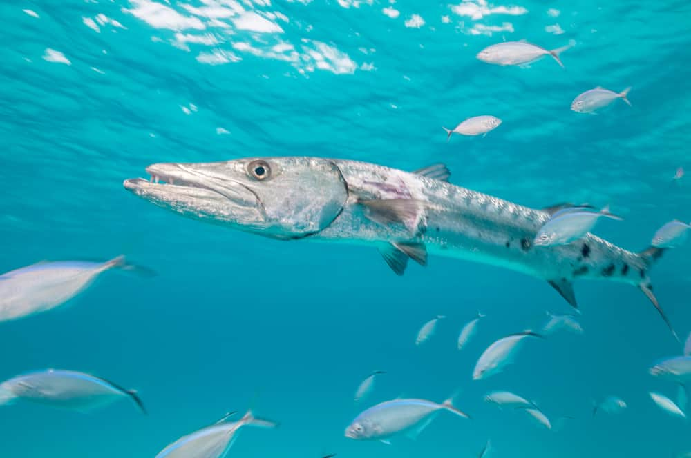 sphyraena barracuda surrounded with fishes