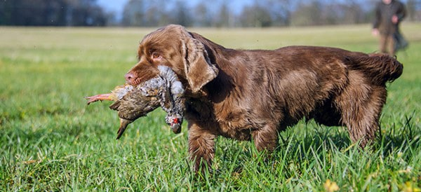 Sussex Spaniel Dog Breeds For Men