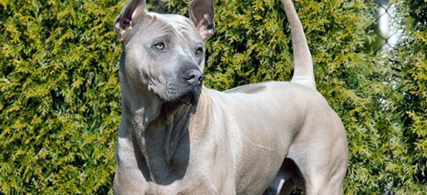 Thai Ridgeback Dog Breeds For Men
