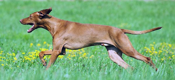 Vizsla Dog Breeds For Men