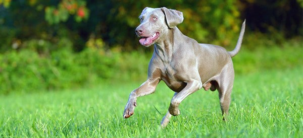 Weimaraner Dog Breeds For Men